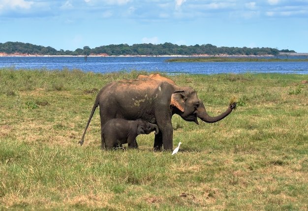 スリランカの国立公園でゾウの母親がゾウの乳児を授乳