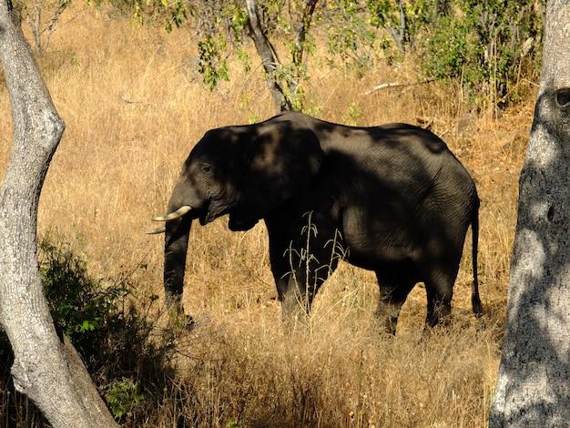 ザンベジ川の海岸、ボツワナ、アフリカの象