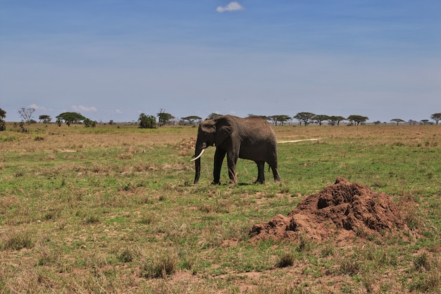 Elephant on safari in kenia and tanzania, africa