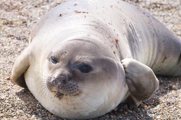 Морской слон на пляже крупным планом, патагония, аргентина. пляж исла-эскондида. аргентинская дикая природа