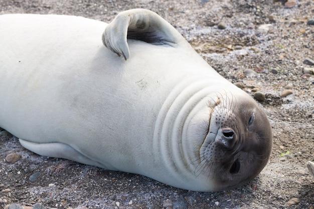 Морской слон на пляже крупным планом, патагония, аргентина Premium Фотографии