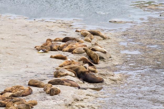 カレタバルデスビーチ、パタゴニア、アルゼンチンのゾウアザラシアルゼンチンの野生生物