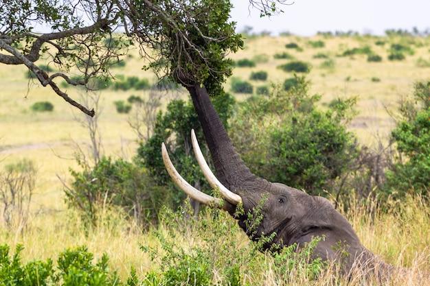 象は幹で木の葉を引き裂きます