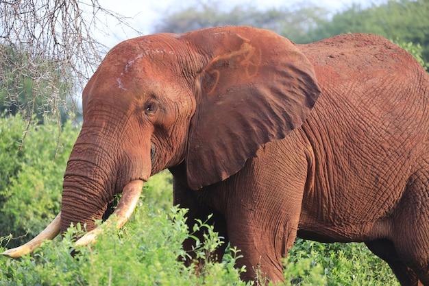 アフリカ、ケニアのツァボイースト国立公園を歩く象