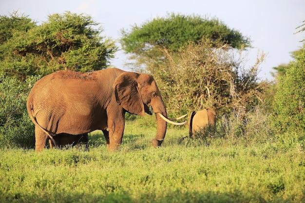 ツァボイースト国立公園、ケニア、アフリカを歩く象