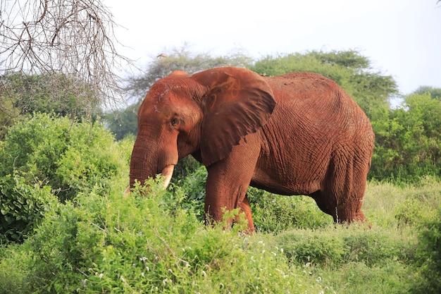 Слон гуляет в восточном национальном парке цаво, кения, африка
