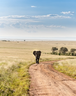 Elephant walking in the savanna