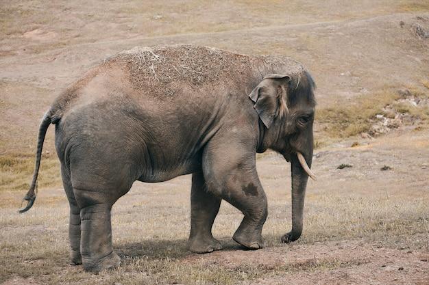 An elephant walking very sadly