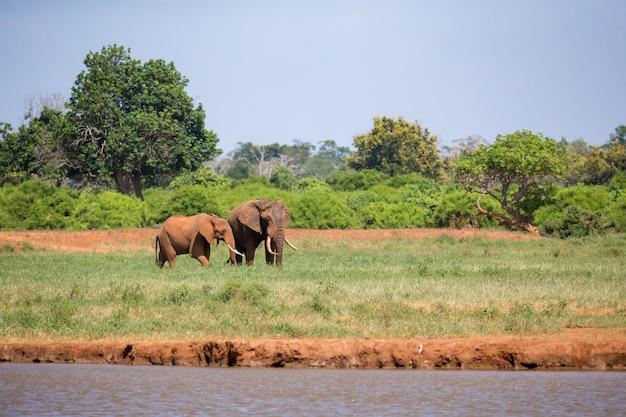 An elephant on the waterhole in the savannah of kenya