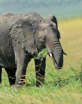Elefante allo stato selvatico