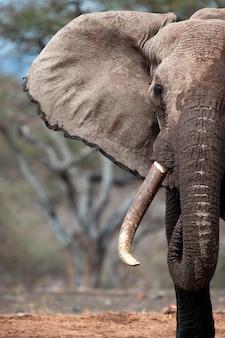 Слон дикой природы в кении