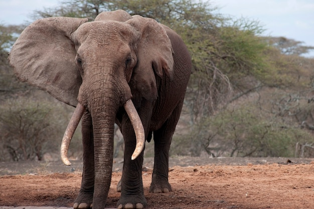 Elephant wildlife in kenya