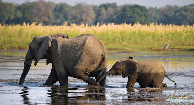 赤ちゃんと一緒に象がザンベジ川を渡っています