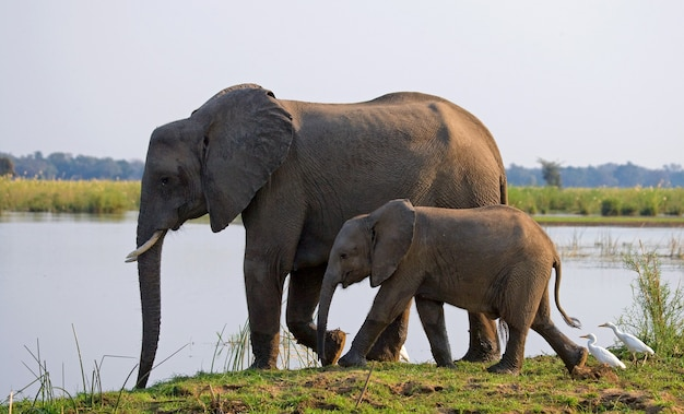 ザンベジ川の近くで赤ちゃんと象