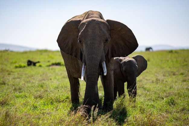 Elephant with a calf in a green field of trees