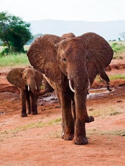 Elephants african savannah