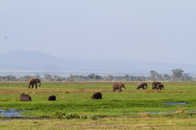 Слоны и бегемоты в зеленом болоте в кении