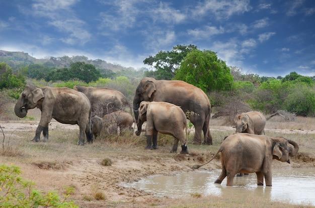 スリランカのヤアラ国立公園の象
