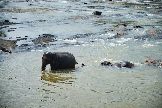 スリランカのジャングル川で象の水浴び