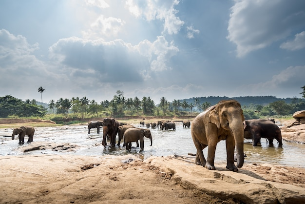 Elephants in a beautiful landscape in sri lanka