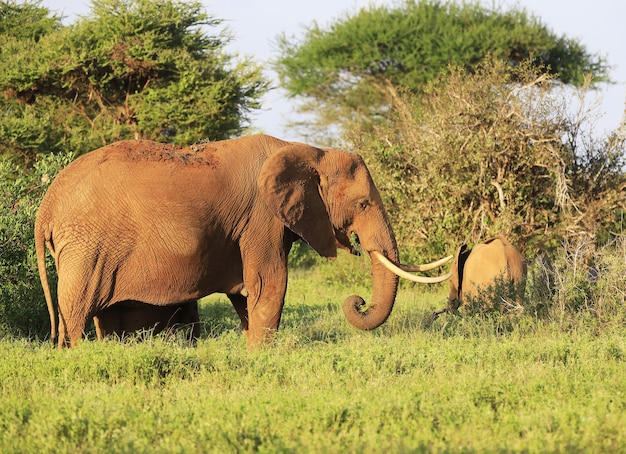 Elephants next to each other in tsavo east national park, kenya