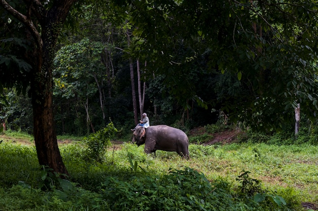 The elephants in forest and mahout in nature park, thailand
