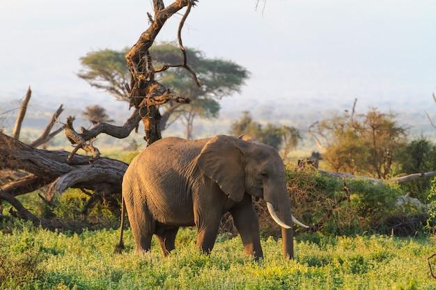Слоны из саванны амбосели. кения, гора килиманджаро.