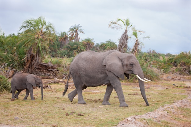 Elephants go across the road, on safari in kenya