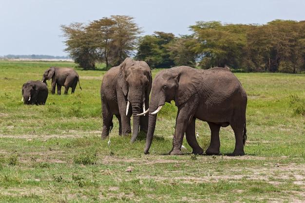 Слоны пасутся на пастбище в национальном парке амбосели