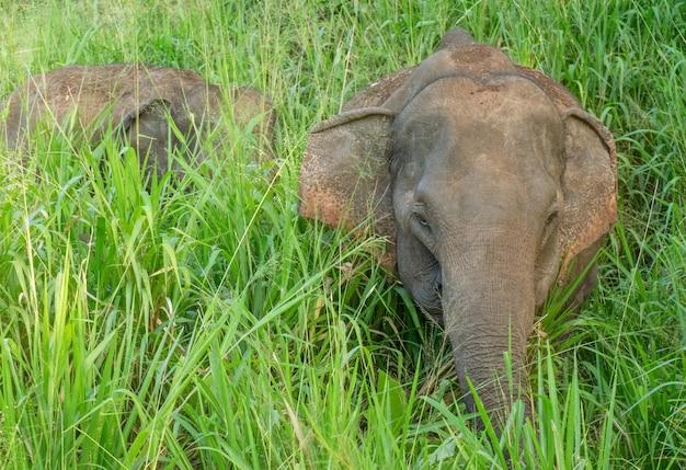 緑の草、スリランカ、ハバラナ国立公園の象。