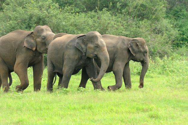 Слоны в национальном парке, шри-ланка