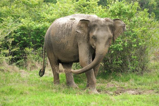 スリランカの国立公園の象 Premium写真