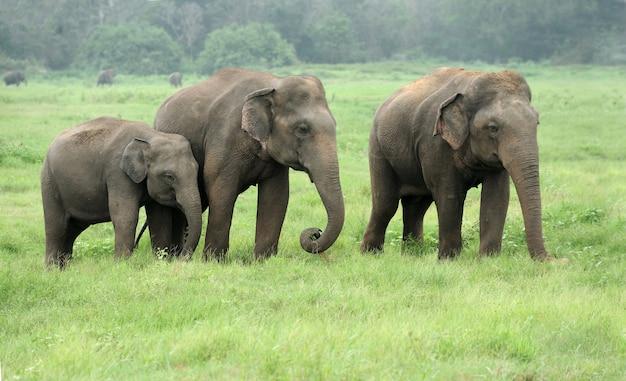 スリランカ国立公園の象 Premium写真