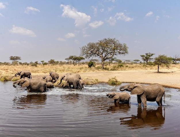 Слоны в национальном парке серенгети - танзания Premium Фотографии