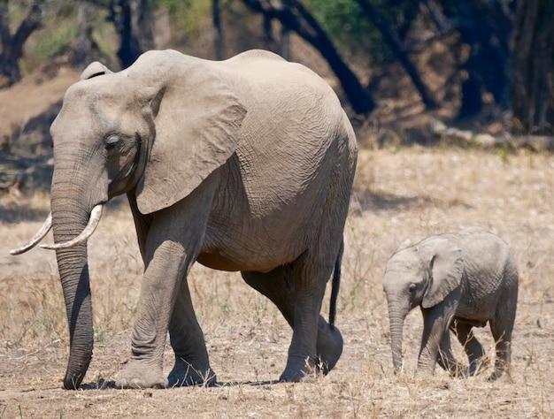 Слоны в национальном парке южная луангва - замбия