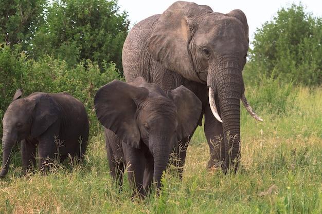 Слоны в зеленой траве в природе