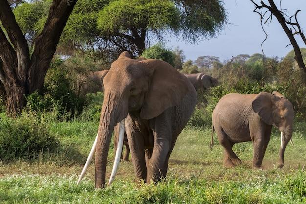 Слоны в зеленом болоте в кении