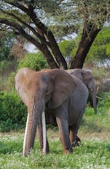 Слоны в зеленом болоте в кении Premium Фотографии