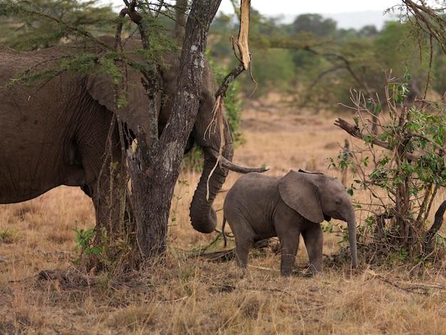 Elephants in kenya africa