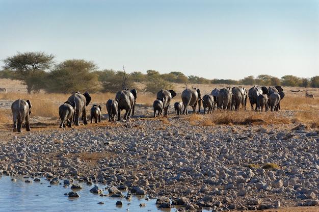 Elephants leaving waterhole. african nature and wildlife reserve, etosha, namibia