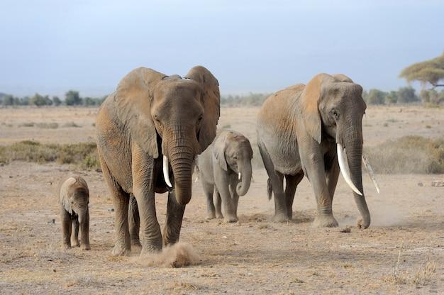 Elephants in national park of kenya, africa