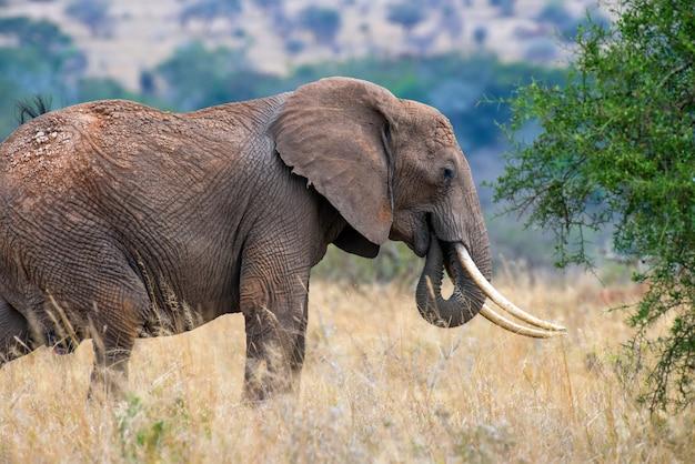 Elefanti nel parco nazionale del kenya, africa