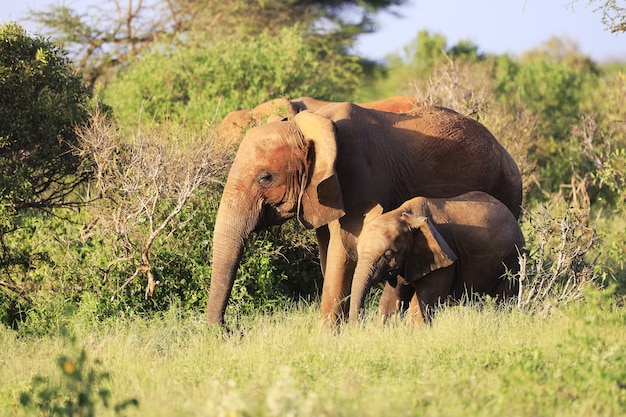 케냐의 차보 이스트 국립 공원에서 나란히있는 코끼리