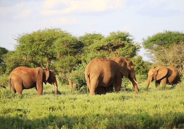 Elephants standing next to each other on a green field in kenya, africa