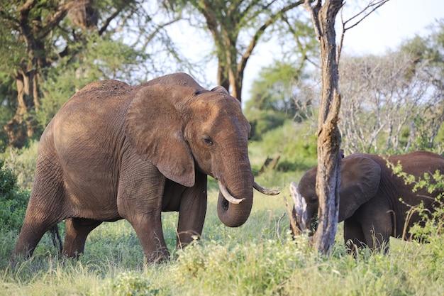 ケニアのツァボイースト国立公園で隣同士に立っている象