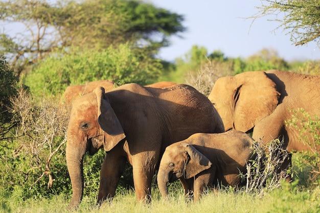 アフリカのケニアの緑の野原に並んで立っている象