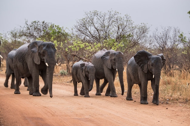 道路を歩く象。南アフリカ。
