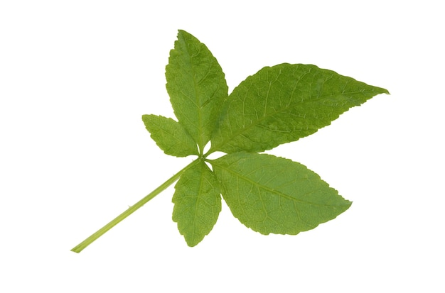 Eleutherococcus trifoliatusの葉は、クリッピングパスで白い背景に分離されました。上面図、フラットレイ。