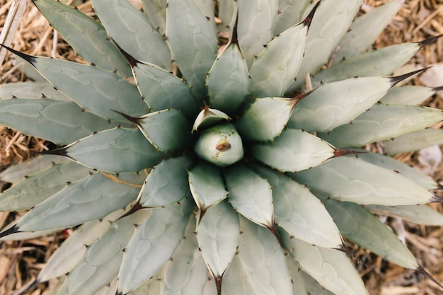 Elevated view of a beautiful succulent plant