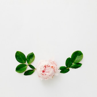 Elevated view of fresh peony flower and green leaves isolated on white background